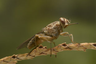 Tsetse fly from Burkina Faso