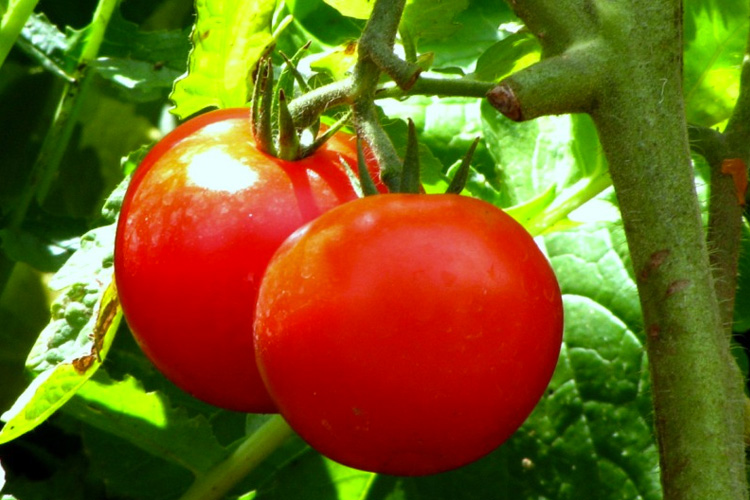 two tomatoes on vine