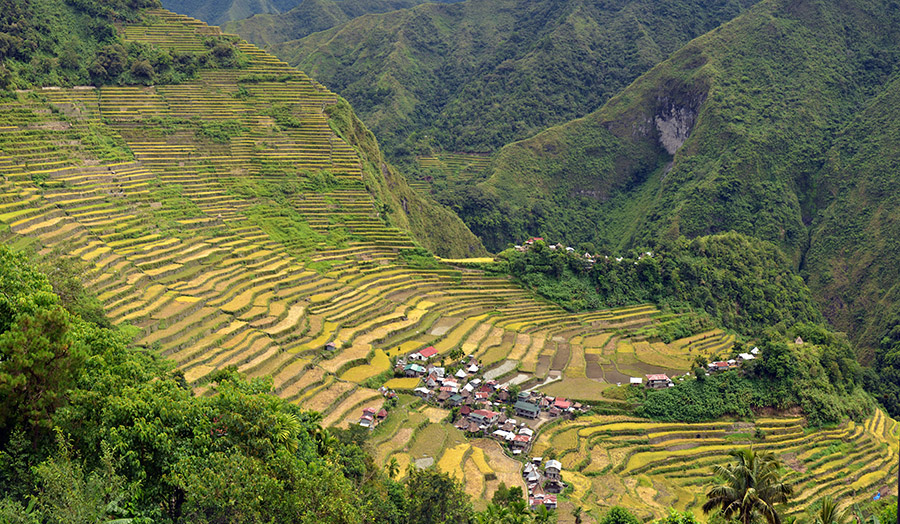 Philippine genetically modified Golden Rice