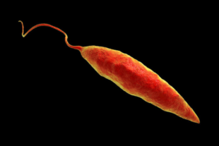 Leishmania parasite (Photo: Getty Images)